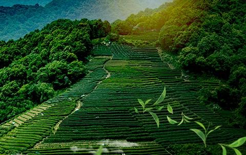 宣恩伍家台贡茶产业协会